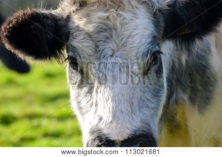 Milk cow head