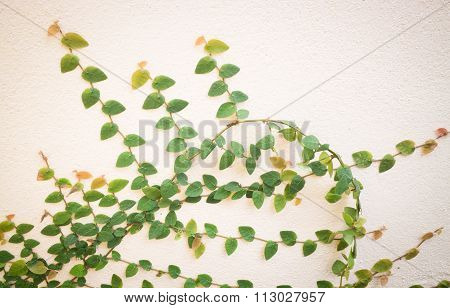 Nature Green Ivy Plant On The Wall