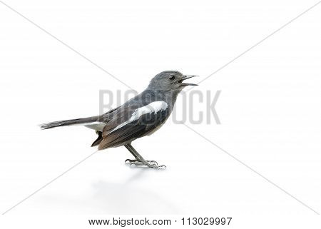 Black And White Bird, Magpie Robin Isolated On White Background.
