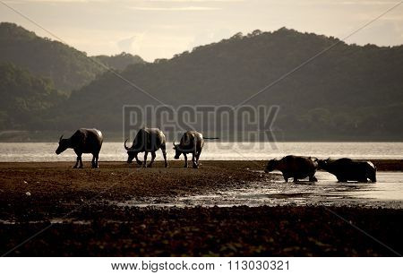 Male cape buffalos standing in short grass