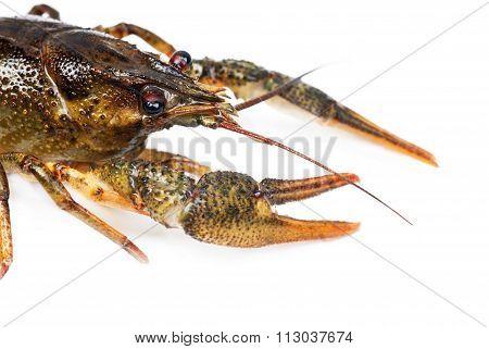 River Crayfish Isolated On White Background