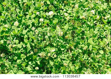 White Clover (trifolium Repens). Flower Of The Clover. Trifolium Repens L. (white Clover, Dutch Clov
