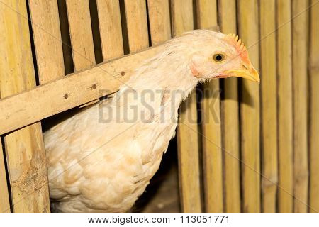 Close up Head white Chicken in bamboo henhouse