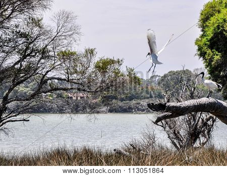 Australian White Ibises: Lake Coogee Wildlife