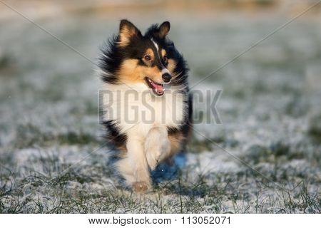 beautiful sheltie dog running on a field