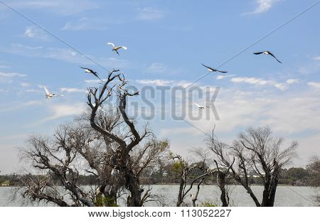 Australian White Ibises Flying at the Wetlands
