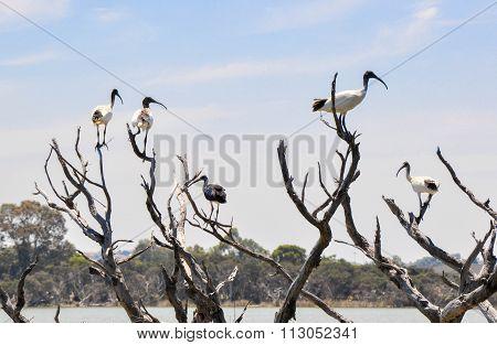 Ibis Invasion in Western Australia