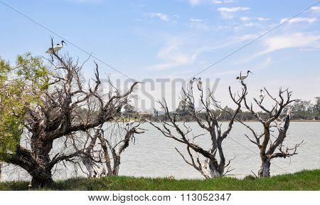 Lake Coogee: Australian White Ibises