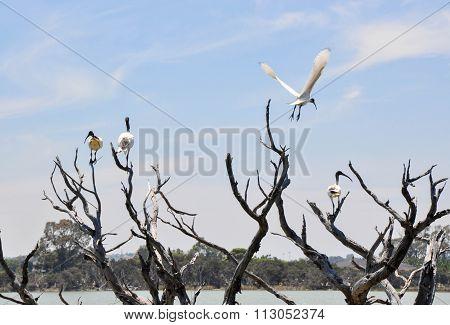 White Ibises: Wetland Tree Tops