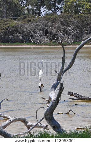 White Heron in the Lake