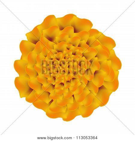 Orange Marigolds Flower on A White Background