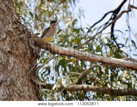 Australian Red Wattlebird: Yellow Belly