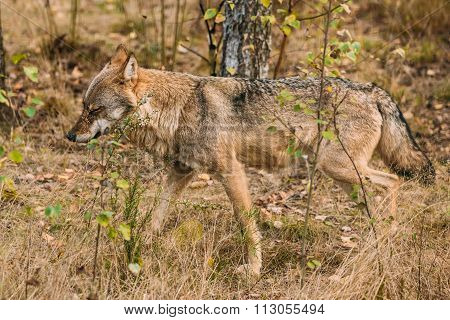 Forest Eurasian wolf in natural environment
