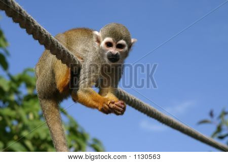 Little  Squirrel Monkey