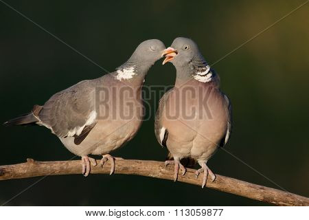 Couple Of  Woodpigeon Courting And Kissing