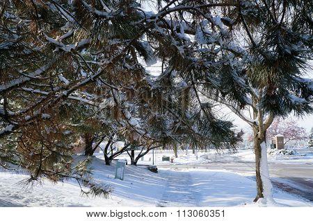 Heavy Snow on Pine Tree Branches
