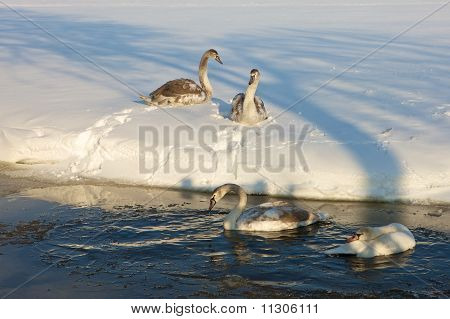 Whooper Swans In The Snow