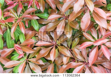 Background Of Green And Red Leaf.
