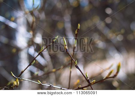 Branch With Buds On A Light Background Forest