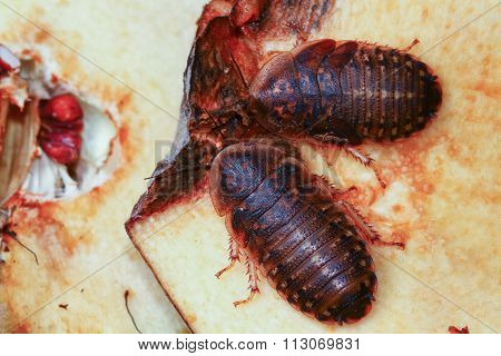 Two Death's Head Cockroach  Feeding On Apple