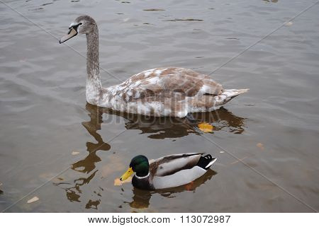 swan and duck on water