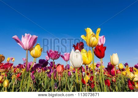 Close Up Colorful Tulips In Tulip Field