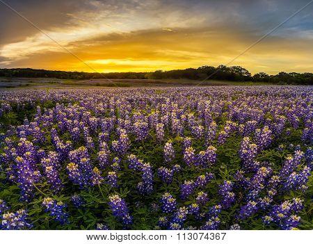 Texas Bluebonnet Field In Sunset At Muleshoe Bend Recreation Area