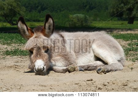 Baby Donkey Laying On The Field