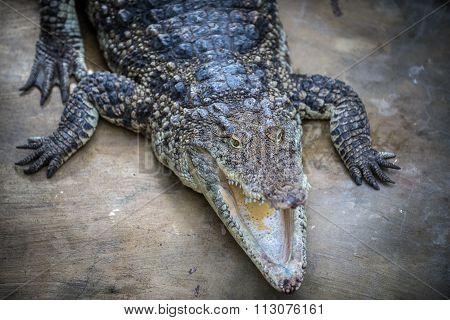 Crocodylus Rhombifer Head