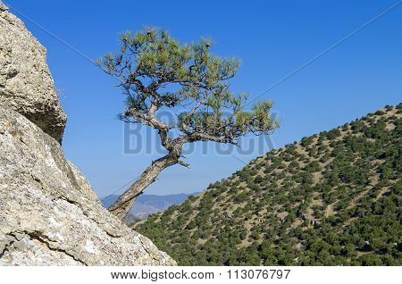 Relic Pine Against A Cloudless Sky. Crimea.