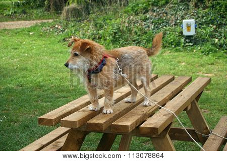 Dog on picnic table
