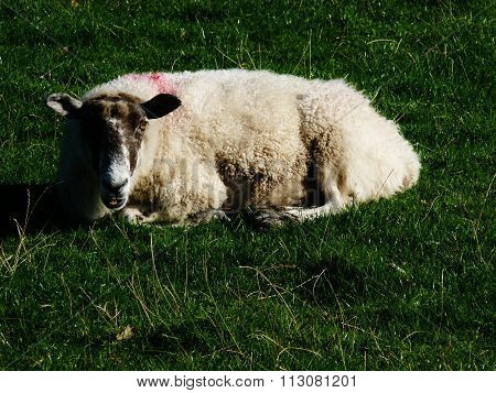 sheep lying down in summer red mark on fur