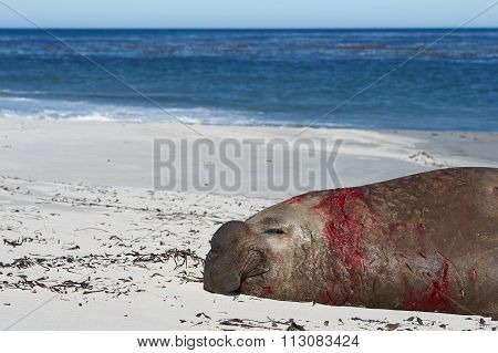 Bloodied Male Elephant Seal