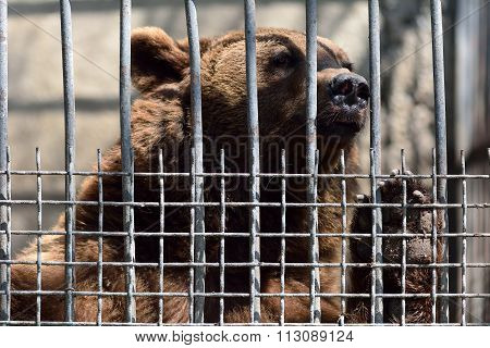 European brown bear in captivity in Baku zoo, pawing at cage