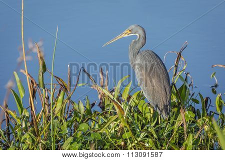 Tricolored Heron Stalking its Prey at the Edge of a Pond