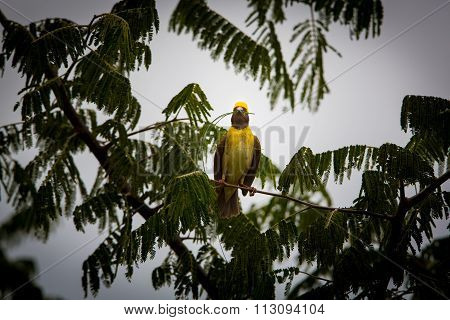 Baya Weaver at nesting site.