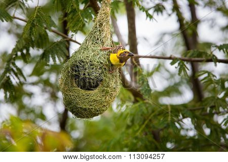Baya  Weaver Male, at nesting colony on the outskirts of Bangalore, India.
