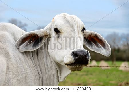 Head shot Of A White Cow Of American Brahman Breed