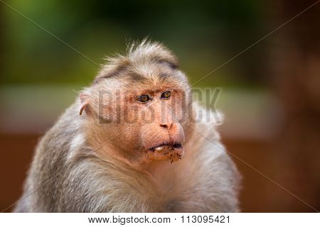 Bonnet Macaque, one of the Big Banyan Tree Troop, India