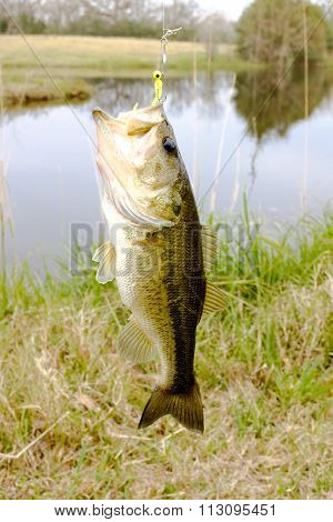 Striped Bass Or Big Mouth On A Hook With  A Jig