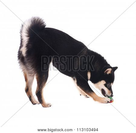 Siba inu dog playing with toy isolated on white