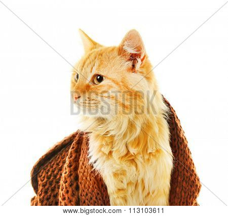 Red cat in maroon knitted scarf isolated on white background