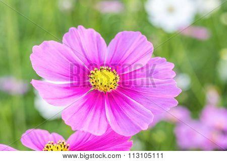 Cosmos Flowers Blooming In The Garden