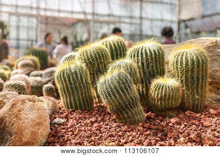 Cactus In Garden,public Park