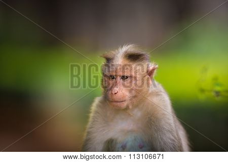 Bonnet Macaque, part of the Banyan Tree Troop, Bangalore, India.