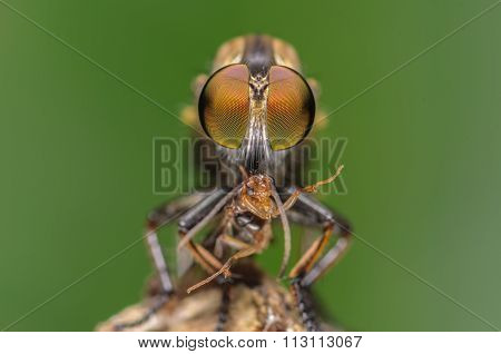 Macro shot of a robber fly with prey