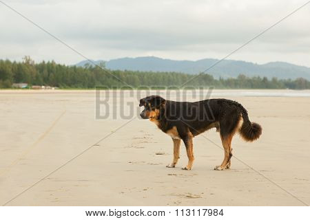 Stray Dogs On Beach