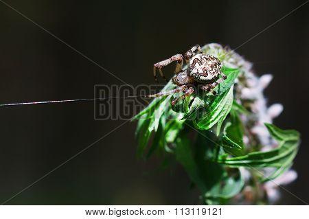 The Female Spider A Common Garden Spider ( Lat. Araneus Diadematus )
