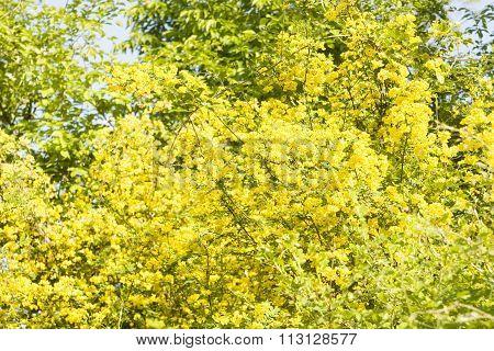 Yellow Acacia, Caragana Arborescens