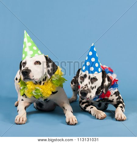 Portrait pure breed Dalmatian dogs with birthday hat and chains in studio on blue background